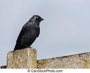 烏鴉, 栖息, 柵欄