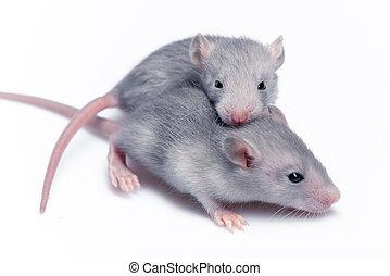 lindo, bebé, ratas