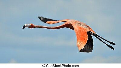 Flying flamingo - Flying Caribbean flamingo (Phoenicopterus...