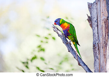 beautiful colorful parrot lory at the zoo