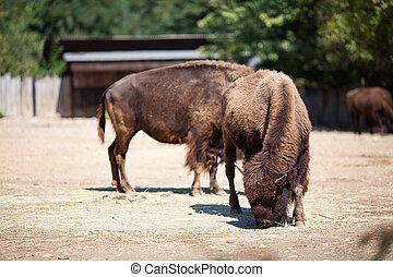 buffalo in zoo