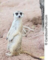 suricate, ou,  Meerkat