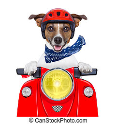 motorcycle dog - motorcycle dog driving a motorbike with...