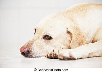 triste, perro