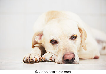 Sad dog - Sad Labrador retriever is lying down on floor.
