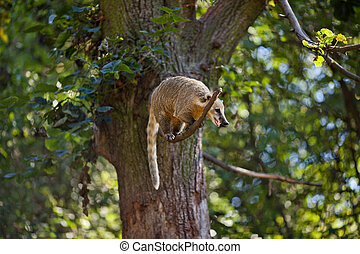 coati jumping from branch to branch in a zoo
