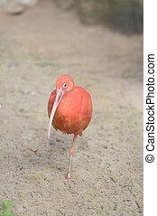 Pink Parrot - Rare Pink Parrot Bird with very Long Beak