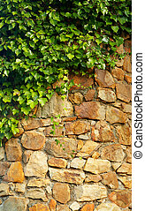 Ivy climbing the old wall - A Ivy climbing the old wall of...