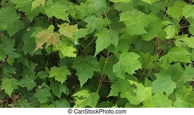 sugar maple bush - sugar maple seedlings form a ground cover...