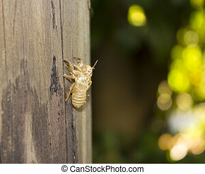 Exoskeleton of a cicada, France - Exoskeleton of a cicada -...