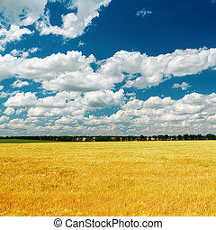 blue dramatic sky over golden field