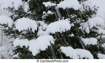 Snowy Blue Spruce Tree Loop - Heavy snow falls around a blue...