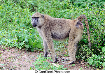 baboon - A baboon in amboseli national park of Kenya.