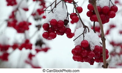 snowball red branches under snow at winter