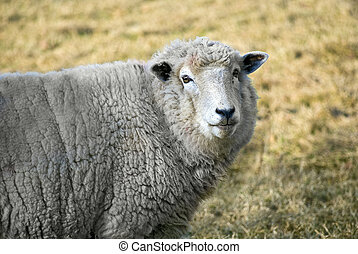 sheep portrait - portrait of friendly-looking sheep staring...