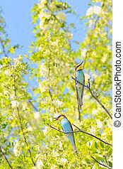 bee-eaters Merops Apiaster - European bee-eater Merops...