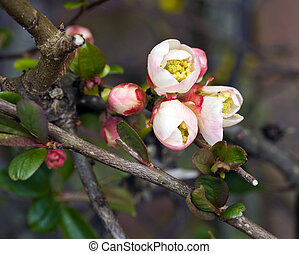 flowering quince; close-up; differential focus
