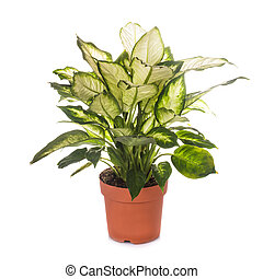 dieffenbachia isolated - dieffenbachia grows in flowerpot...