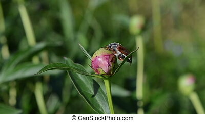 beetle peony bud - big bright brown cockchafer chafer sits...