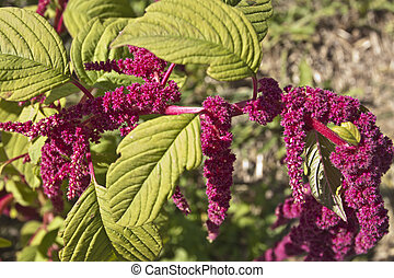 Amaranths flowers - Amaranth (Love-Lies-Bleeding)