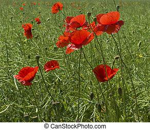 poppy red - Red poppy field in spring