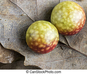 Cherry galls on oak leaves - Galls produced by the asexual...
