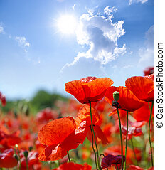 Red Poppies - Field of Red Poppies