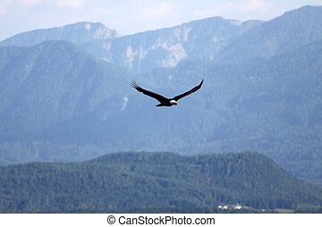 eagle - flying bald eagle in the mountains