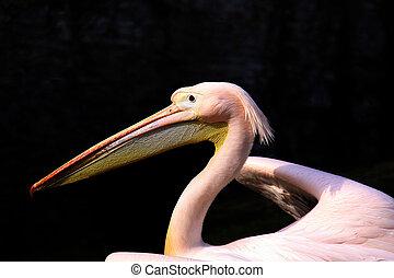 pelecanus - Pelikan
