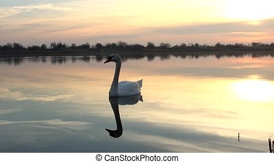 swan - sunrise lake with a swan