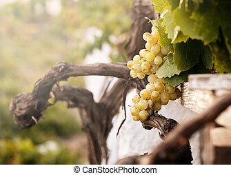 Bunch of white grapes in the vineyard in the Wine Museum of...