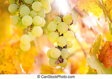 Yellow grapes from vineyard at sunset in autumn harvest season
