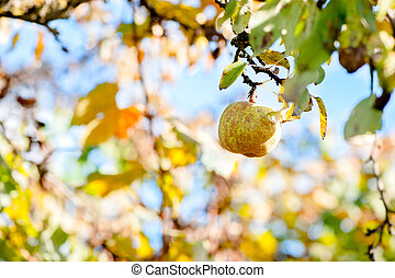Autumn harvesting, close-up of a juicy healthy pear - Autumn...
