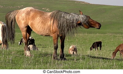 Leader of the Herd - Beautiful horse shakes his mane. Slow...