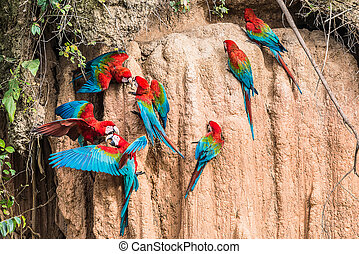 macaws clay lick peruvian Amazon jungle Madre de Dios Peru -...