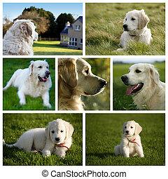 Golden Retriever Labrador Dog