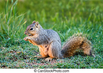 Eastern Fox squirrel, Sciurus niger - Cute Eastern Fox...
