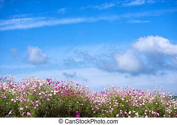 Cosmos flower field - Pink cosmos flower field under blue...