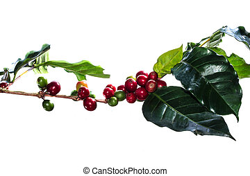 coffee tree with ripening - The ripe coffee on white...