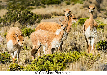 Vicunas in the peruvian Andes Arequipa Peru - Vicunas in the...