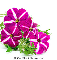 petunia - Colorful star pink petunia, isolated on a white...