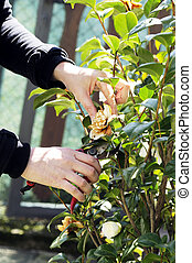 gardening - prune a tree with shears