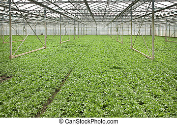 Growing andive plants in glasshouse - Overview monoculture...