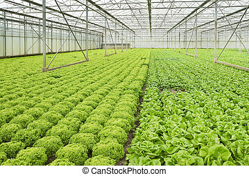 Growing salad plants in glasshouse - Monoculture of Salad...