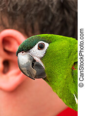 Parrot and the human ear - Macro view of parrot and the...
