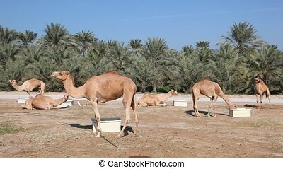 Camel farm in Bahrain, Middle East