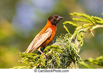 Southern Red Bishop busy building a nest, Namibia