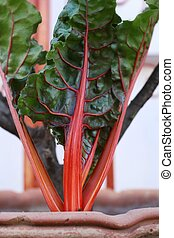 swiss chard - close up of swiss chard