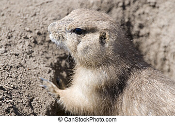 prarie dog - a prarie dog or ground hog at the opening to...