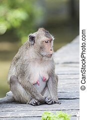 face of Long-tailed macaque, Crab-eating macaque show nipple...